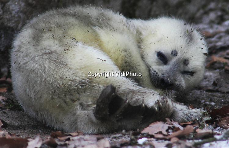 Foto: VidiPhoto.ARNHEM - Burgers' Zoo heeft een wereldprimeur. In de Arnhemse dierentuin is zondag een ringelrob geboren. Het is voor het eerst in de geschiedenis dat zo'n dier zich in gevangenschap heeft voortgeplant. Een ringelrob heeft veel weg van een zeehond, maar is een stuk kleiner. De dieren komen vooral voor in de poolgebieden. In dierentuinen zijn ze nauwelijks te vinden. Het jong werd maandag medisch onderzocht door dierenarts Henk Luten. De komende dagen wordt het gewicht van het dier (4,5 kg) goed in de gaten gehouden. Dat is vrijwel de enige manier om te constateren of Nicky genoeg melk krijgt van de moeder.
