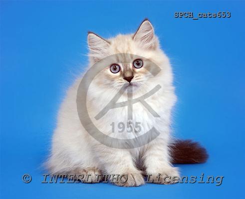 Xavier, ANIMALS, cats, photos, SPCHcats653,#A#
