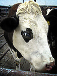 This cow did not seem to impressed to have his picture taken at the Fatstock Show..Picture Paul Mohan Newsfile