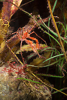 Gespensterkrabbe, Gespenster-Krabbe, Tarnung, Macropodia rostrata, Long legged spider crab, Long-legged spider crab, Common Spider Crab, camouflage