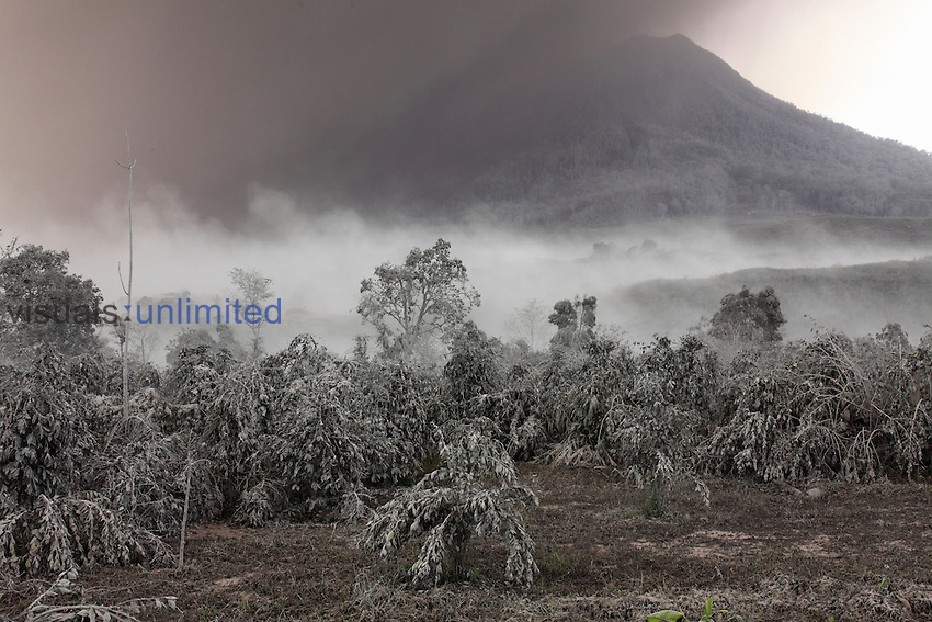 Ash on plants from pyroclastic flow from eruption of Sinabung Volcano, Sumatra, Indonesia.