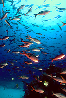 A school of Pacific Creolefish, Paranthias colonus in blue water, tropical fish, underwater, marine life. Devil's Crown near Floreana Isl. Galapagos Islands Ecuador Pacific Ocean, 650 miles west of South America.