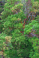 WASJ_D120 - USA, Washington, San Juan Island National Historical Park, English Camp, Pacific madrone trees in bloom.