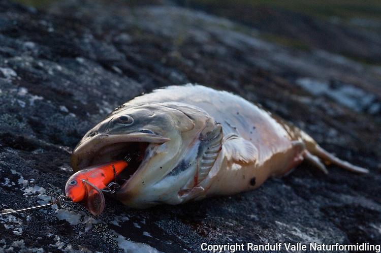 Sjørøye tatt på orange wobbler ---- Arctic char and wobbler