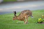Brown hare (Lepus europaeus) running at a cemetery in the North west of England.