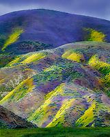 Hillside with yellow and purple wildflowers, Carrizo Plain National Monument, California