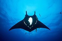 Giant Manta, Manta birostris, soaring through mid-water. San Benedicto Island, Revillagigedo Archipelago, Mexico, Pacific Ocean