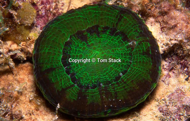 Solitary Disck Coral, Scolymia wellsi, Florida Keys
