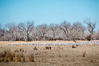 The Sandhill Crane Migration in March along the Platte River near Kearney Nebraska.
