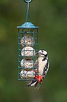 Buntspecht an der Vogelfütterung, Fütterung am Meisenknödel, Knödelhalter, Fettfutter, Bunt-Specht, Specht, Spechte, Dendrocopos major, Great Spotted Woodpecker, Woodpeckers. Pic épeiche. Ganzjahresfütterung, Vögel füttern im ganzen Jahr, Vogelfutter der Firma GEVO, Meisen-Knödel-Halter