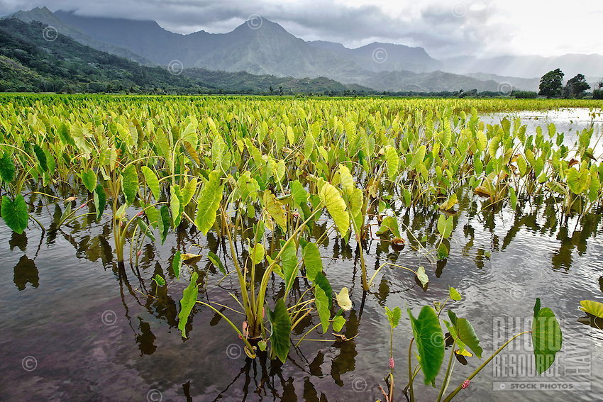 Taro field after a downpour, near Hanalei, Kaua'i.