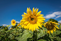 Sunflowers flowering in a farm field margin - August; South Lincolnshire