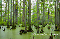 63895-14617 Bald Cypress trees (Taxodium distichum) Heron Pond Little Black Slough, Johnson Co. IL