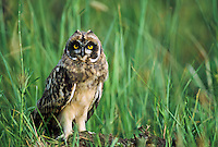 Short-eared Owlet, Oregon