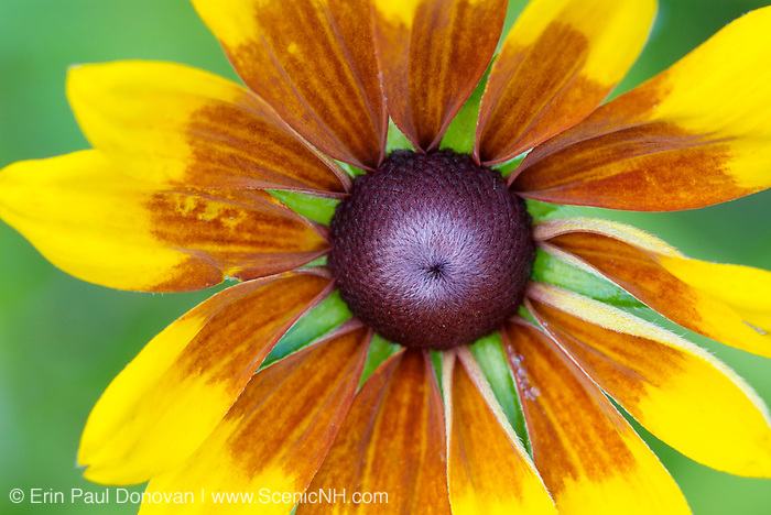 Coneflower-Rudbeckia speciosa- during the summer months in the White Mountains, New Hampshire.