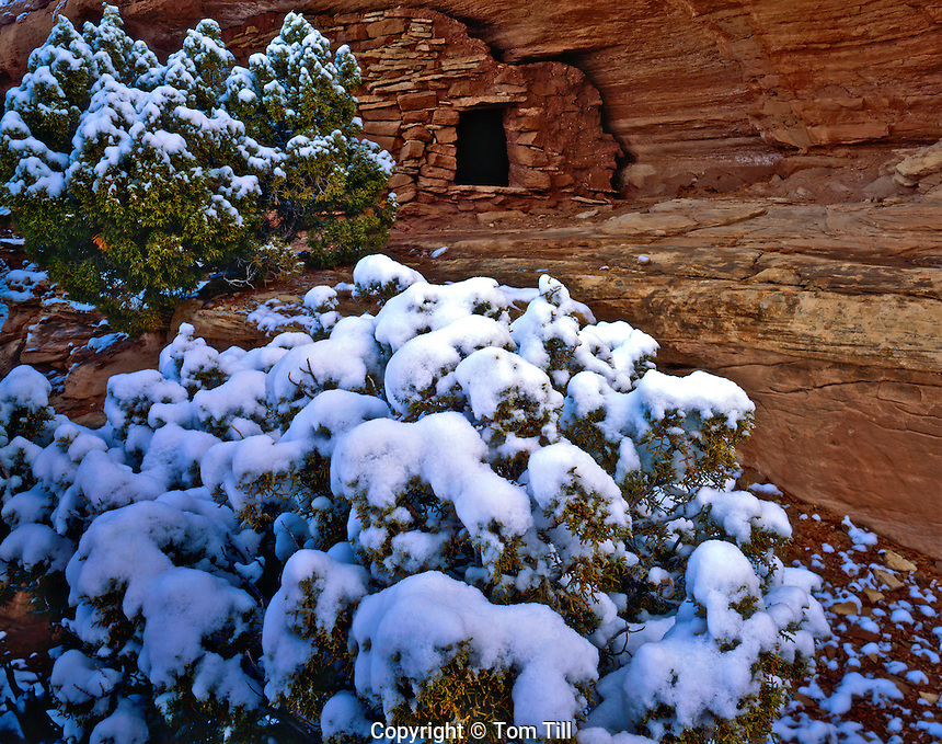 Snowy Juniper and Anasazi Ruin above the White Rim, Canyonlands National Park, Utah