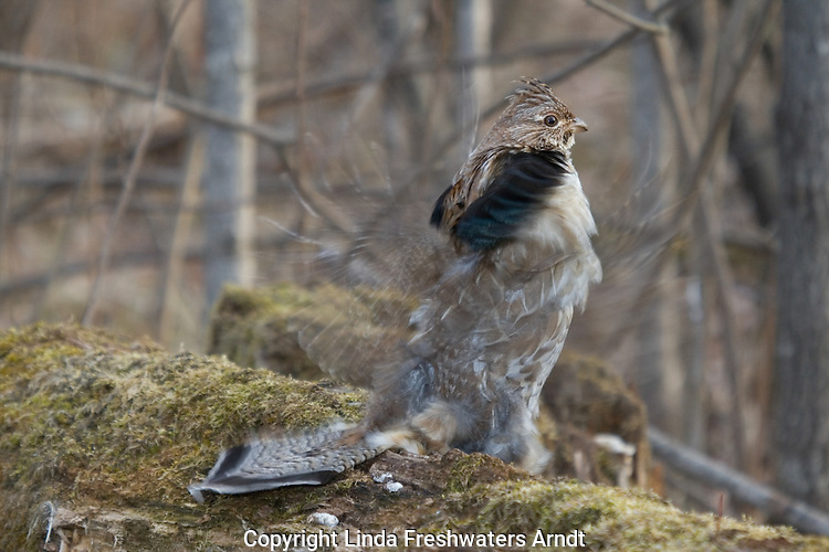 Ruffed grouse drumming to attract a mate