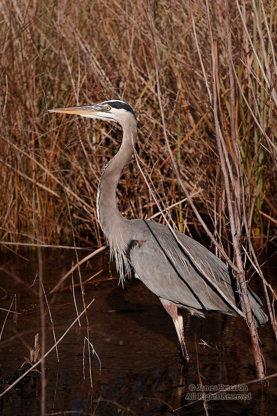 Blue Heron, near Grayton Beach, Florida