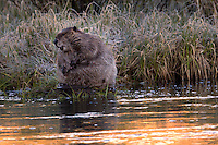 The beaver (genus Castor) is a primarily nocturnal, large, semi-aquatic rodent. Beavers are known for building dams, canals, and lodges (homes). They are the second-largest rodent in the world (after the capybara). Their colonies create one or more dams to provide still, deep water to protect against predators, and to float food and building material. The North American beaver population was once more than 60 million, but as of 1988 was 6-12 million. This population decline is due to extensive hunting for fur, for glands used as medicine and perfume, and because their harvesting of trees and flooding of waterways may interfere with other land uses. <br />