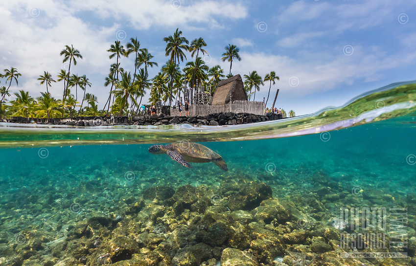 A honu (or green sea turtle) swims in the clear waters off of the Big Island's Pu'uhonua o Honaunau, a national historical park which once served as a place of refuge for ancient Hawaiians. Visitors dot the reconstructed Hale o Keawe in the distance.