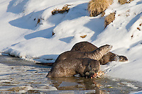 Northern River Otter (Lontra canadensis)--one feeding on fish (cutthroat trout) it has caught while others play in snow.