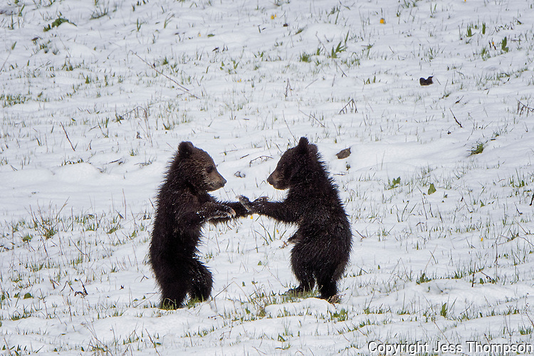 Grizzly Bear Cubs fighting, Yellowstone National Park