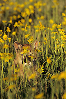 Mountain Lion or cougar (Puma concolor)among wildflowers.  Western U.S.