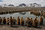 A king penguin colony lines a river in Fortuna Bay, South Georgia.