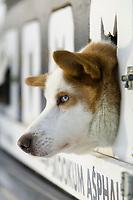 Sled dog, 1000 mile 2004 Yukon Quest in Fairbanks, Alaska