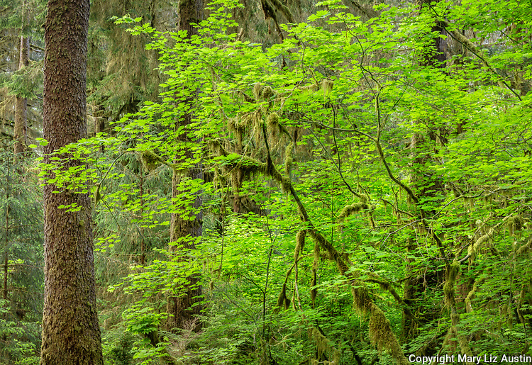 Olympic National Park, Washington: Spring greens leaves of a vine maple (Acer circinatum) in the Hoh Rainforest
