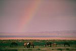 Horses under rainbow, Mongolia