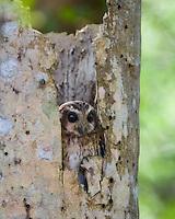 A Cuban Screech Owl (Margarobyas lawrencii) looks out from a roost tree, near Bermejas, Zapata Peninsula, Cuba.
