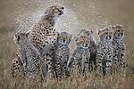 Female Cheetah (Acinonyx jubatus) shaking water off fur and soaking cubs, Masai Mara National Reserve, Kenya, Africa.
