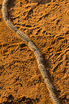 Processionary Moth (Anaphe reticulata) caterpillars forming line to mimic a snake, Greater Makalali Private Game Reserve, South Africa