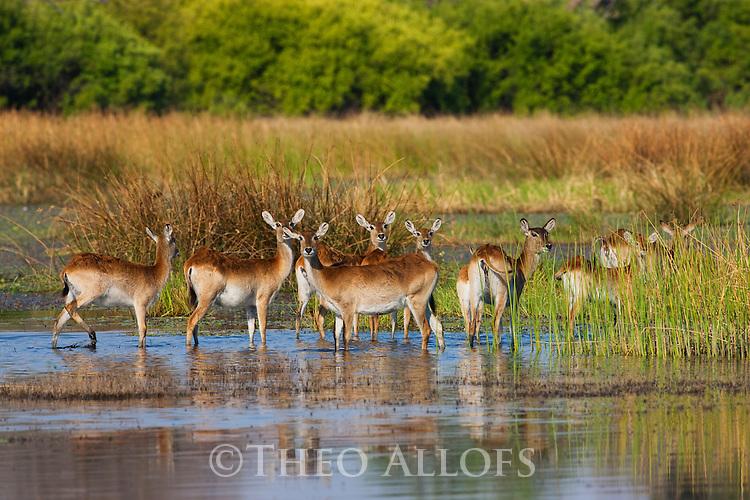 Botswana, Okavango Delta, Moremi; red lechwe (Kobus leche) in swamp, motion blur