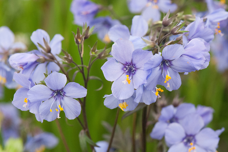 Polemonium yezoense var. hidakanum 'Purple Rain', mid May.