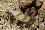 Shrimp gobies (Amblyeleotris sp.) with its partner shrimp