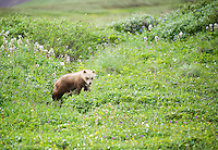 July 3, 2012, Grizzly Bear cub, Denali National Park and Preserve, Alaska, United States