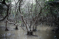 Inside the mangroves of Zhanjiang, Guangdong Province. Over the past century, the world has lost over 50% of its coastal mangroves. They have been cleared mainly to make way for commercial shrimp and fish farms. The unique trees which live in salt water are valued for the ability to protect shorelines and are home to a diverse array of flora and fauna. 2010