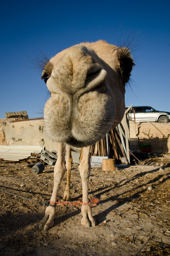 A young camel in the Bedouin village of Abu Queirnat, in Israel's Negev Desert, comes in for a close look.