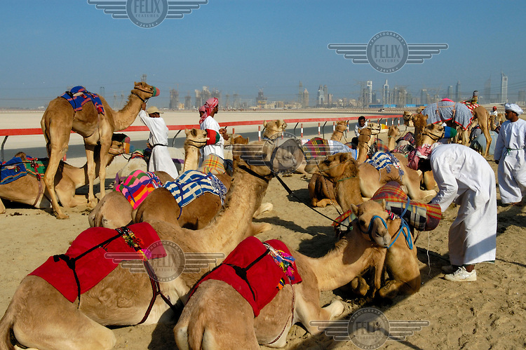 Trainers preparing racing camels for a training session.