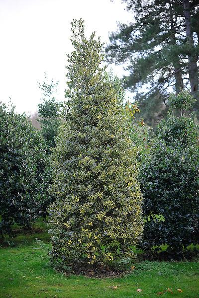 Ilex aquifolium 'Laurifolia Aurea'