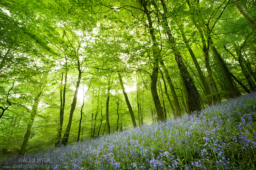 Bluebells {Endymion nonscriptus} flowering in Beech woodland, Derbyshire, UK, April