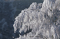 Frost on Birch tree, Finstersee, Zug, Switzerland