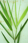 Two stems of fresh spring green Common reed or Phragmites australis lying on antique paper