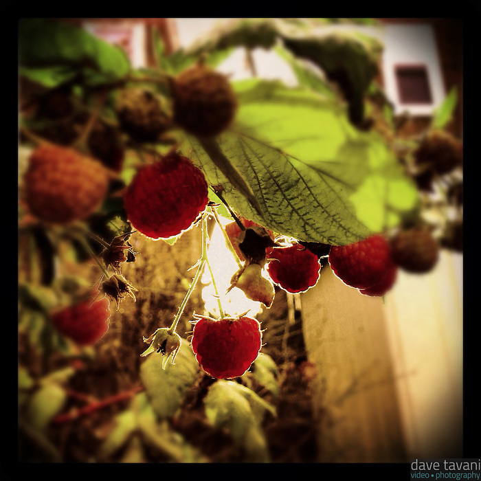 The sun peeks through the houses behind mine to illuminate the last few raspberries as December approaches, November 29, 2012.