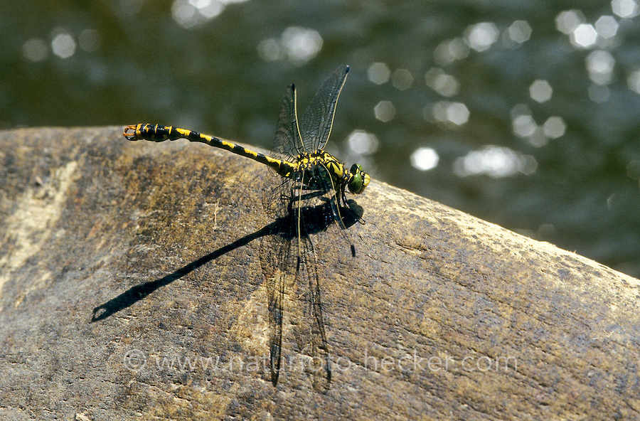Kleine Zangenlibelle, Zangen-Libelle, Männchen, Onychogomphus forcipatus, Small Pincertail, male