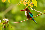 White-throated Kingfisher (Halcyon smyrnensis), Diyasaru Park, Colombo, Sri Lanka