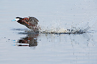 Ruddy Duck giving chase