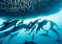 long-beaked common dolphin, Delphinus capensis, pod, attacking and feeding on a baitball of Southern African pilchards, Sardinops sagax ocellatus, during annual sardine run, Wild Coast, Eastern Cape, South Africa, Indian Ocean